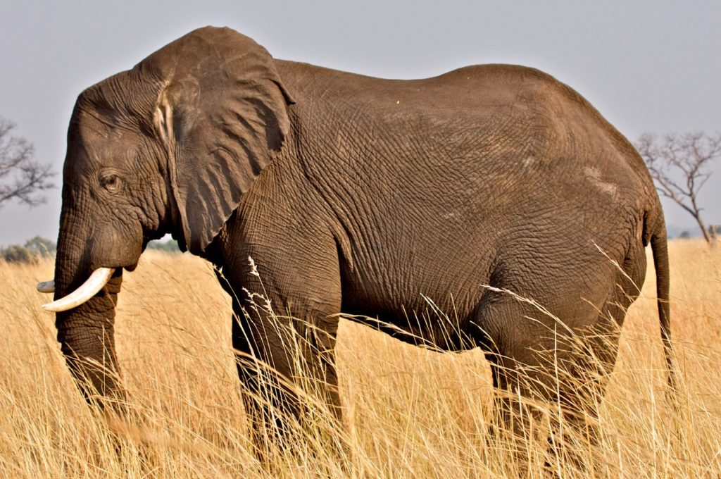 A photo of an African elephant standing in the tall savanna grasses.  Photo Credit: Travels with Gannon & Wyatt