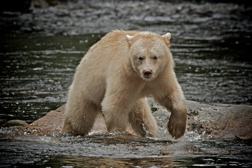 A photo of an albino black bear crossing a river in the Great Bear Rainforest of Canada.  Photo credit: Travels with Gannon & Wyatt.