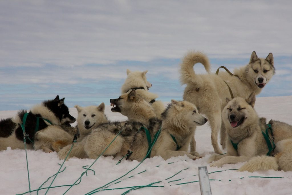 A group of huskies in their harnesses ready to pull a dog sled.  Photo Credit: Travels with Gannon & Wyatt.