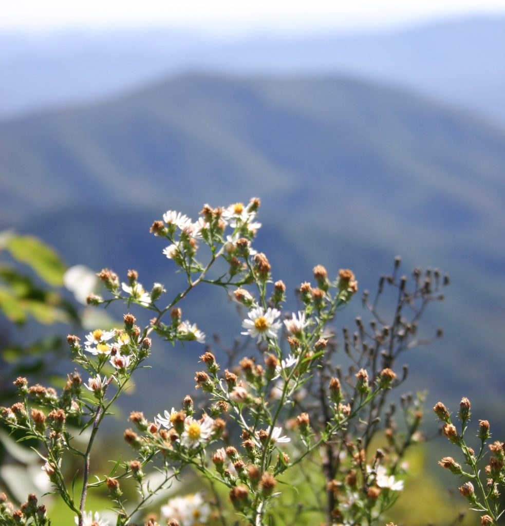 A close perspective of white wildflowers with the mountains shadowed in the distance.