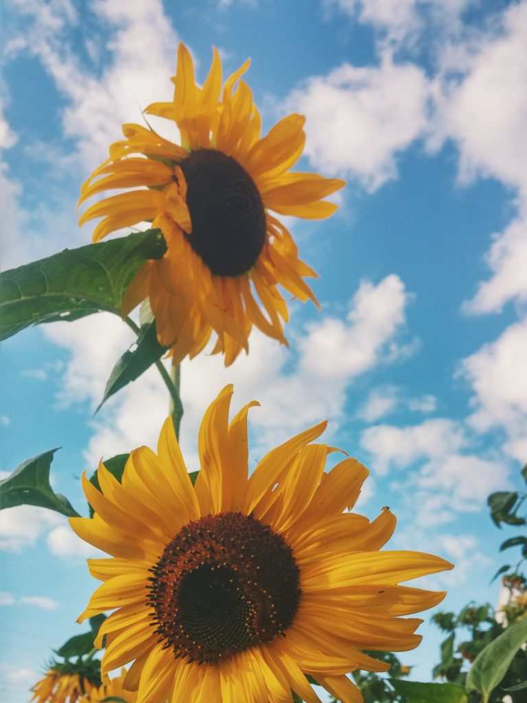 Two large sunflowers turning to face the sun, reminding us that we need to actively face the things that encourage us.