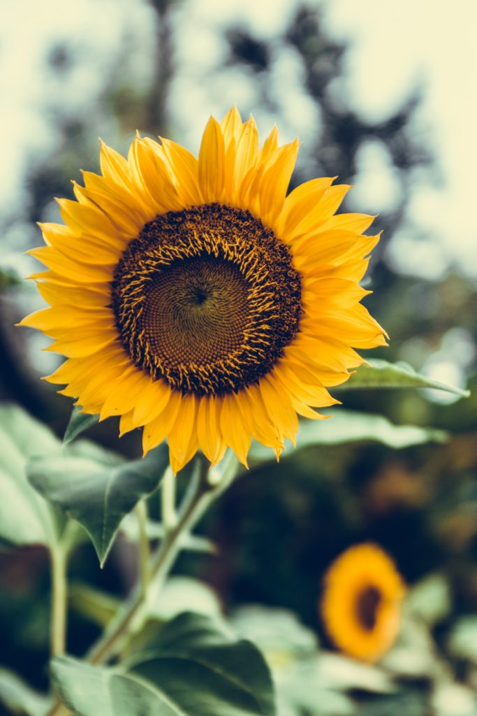A sunflower turning to another sunflower reminding us that we need each other.
