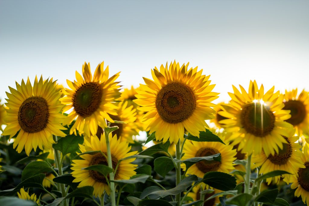 Sunflowers standing in a field with the sun shining through their petals.
