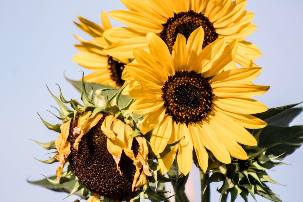 A clump of sunflowers against a blue sky.