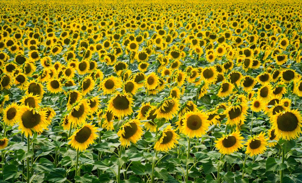 A large field of sunflowers, reminding us that we are better together.