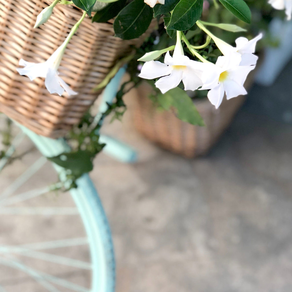 The front wheel of a blue bicycle with a wicker basket and white flowers hanging out.