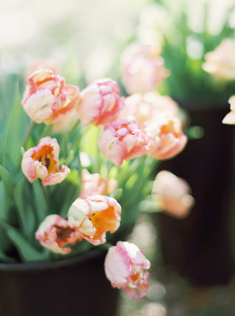 Beautiful pink tulips just like you might find growing in a garden.