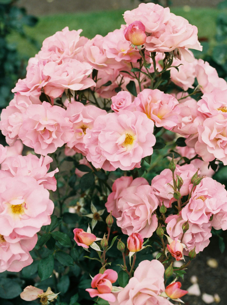 Pink flowers just like you might see on a walk through a beautiful garden.