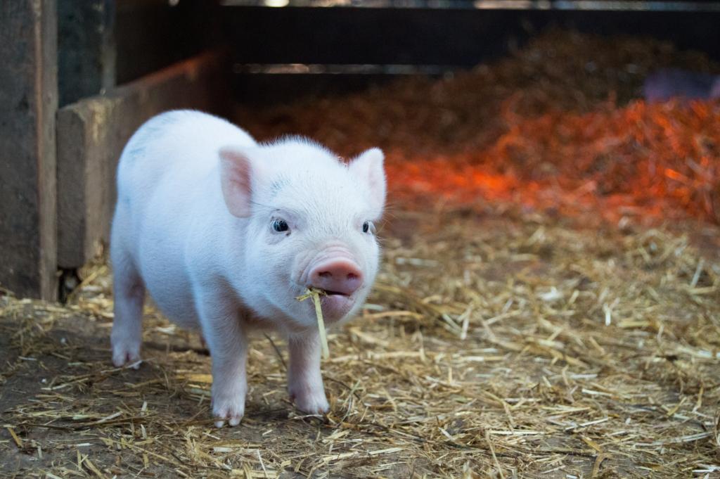 A cute, pink pig (perhaps Wilbur?) standing in his barnyard pen.