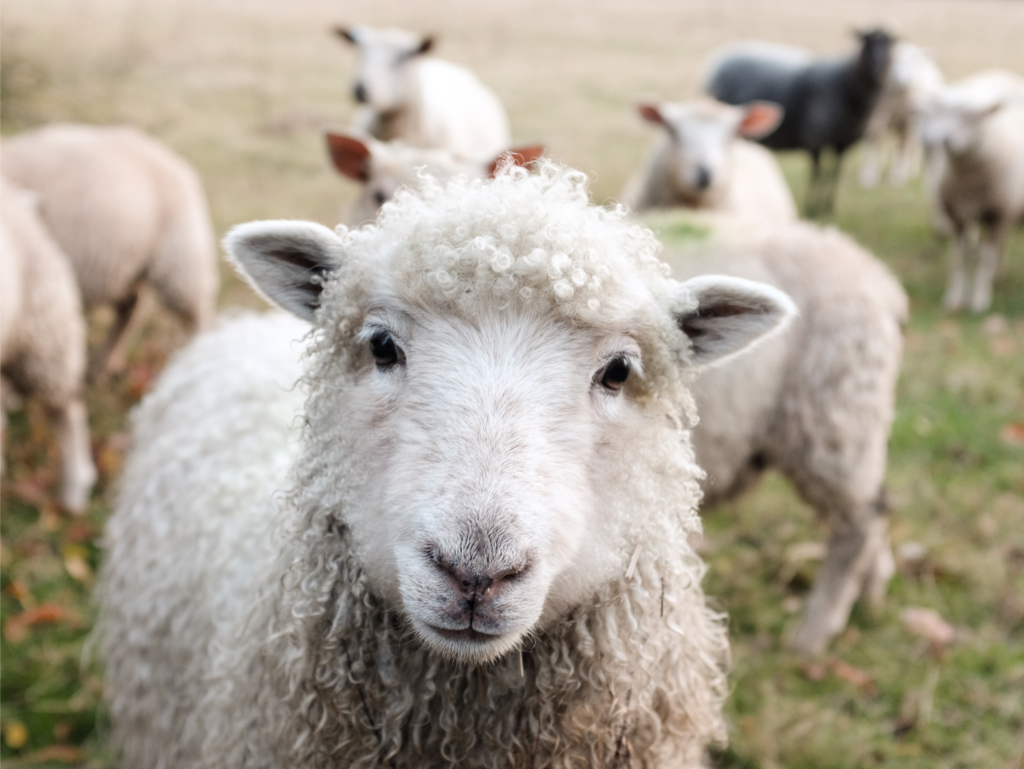 A sheep looking right at the camera, reminding you that Charlotte and Wilbur were friends with other barnyard animals.