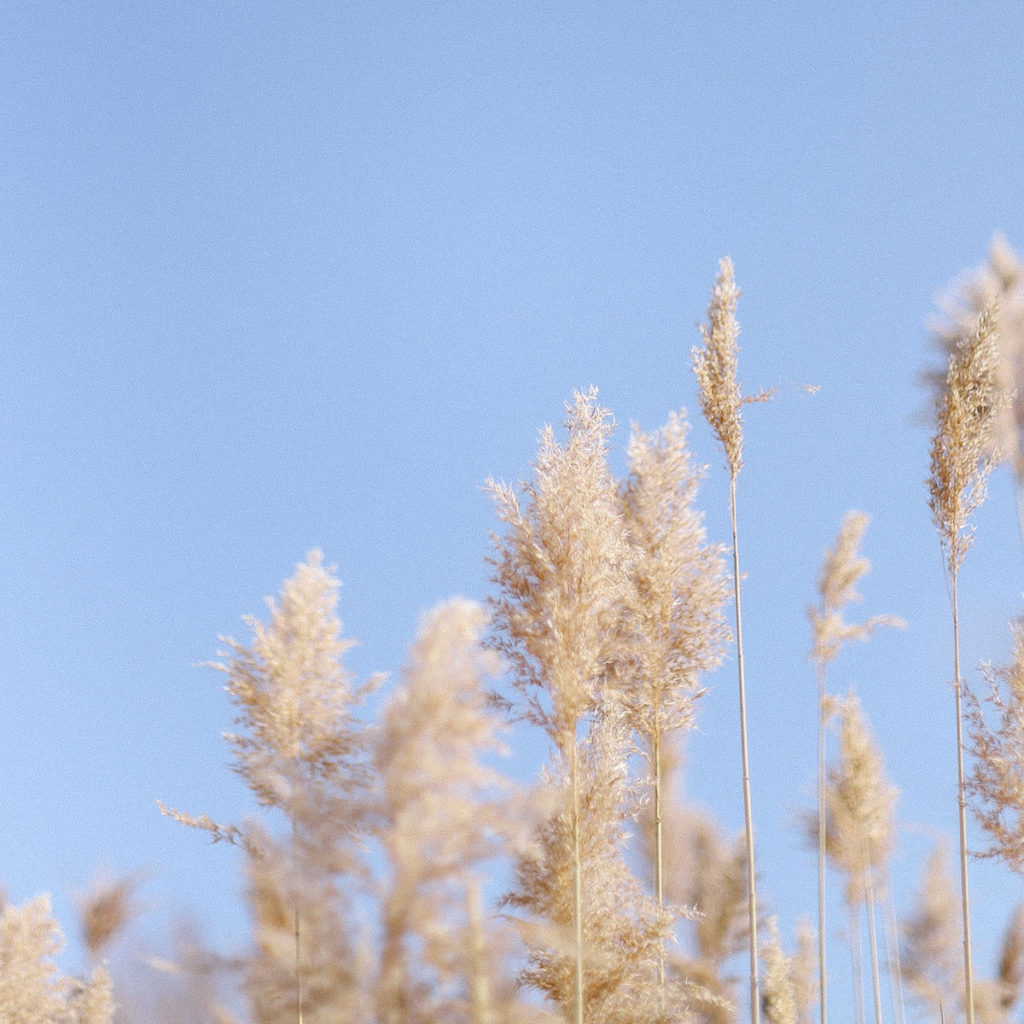 Tall wheat standing against a clear blue sky.