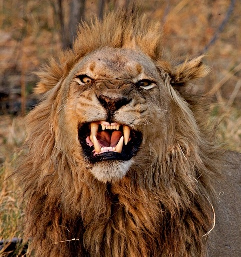 A photo of an African lion baring his teeth.  Photo credit: Travels with Gannon & Wyatt.