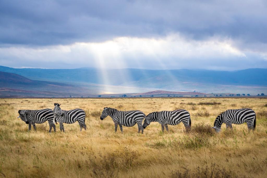 Zebras walking through the grasslands of Tanzania.