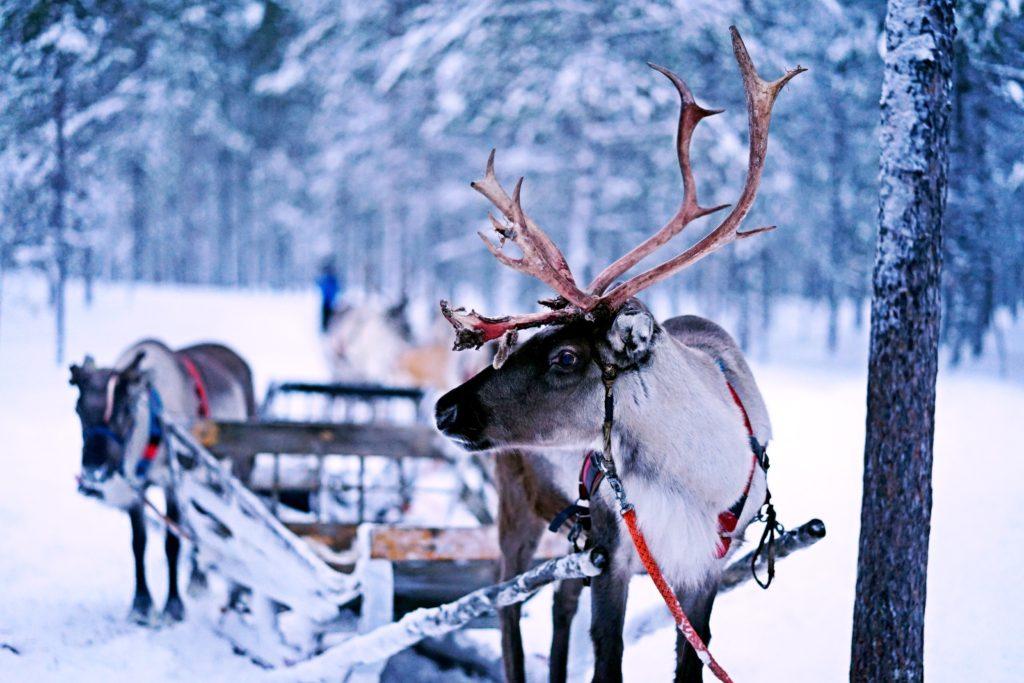 Reindeer pulling a sleigh just like the legend of Saint Nicholas.