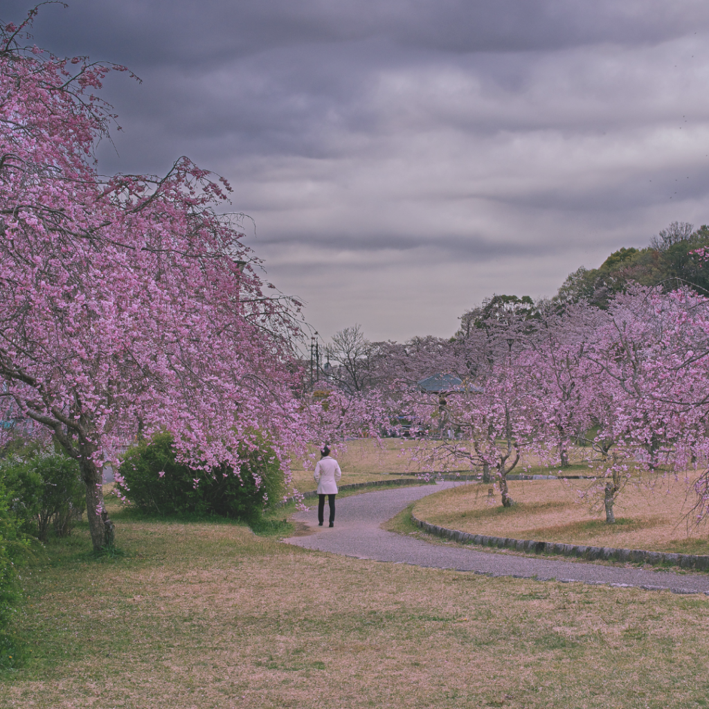 A person walking down a path between two rows of trees bursting into bloom with purple flowers.
