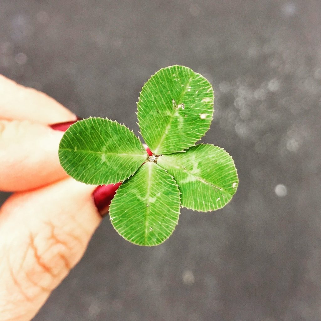 A four-leaf clover, thought to be lucky in Ireland.