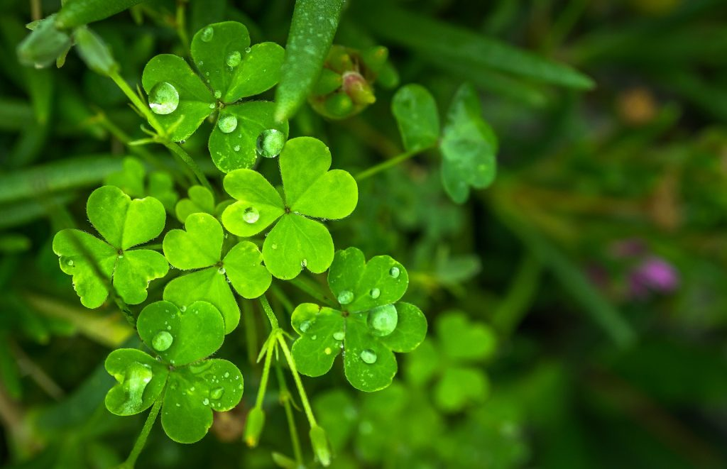 A bright green clump of shamrocks to celebrate St Patrick's Day.