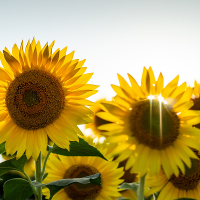 Improve Your Focus with Purpose: Lessons from Sunflowers