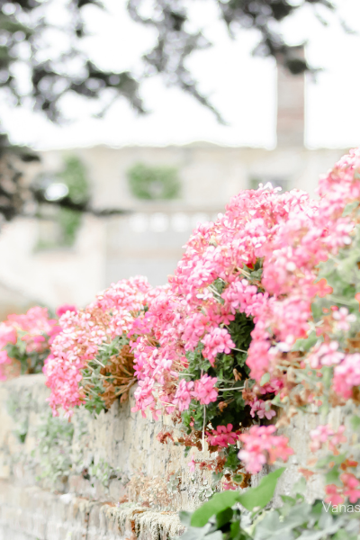 Pink flowers growing over a wall reminding you to pause and breathe amidst the chaos.